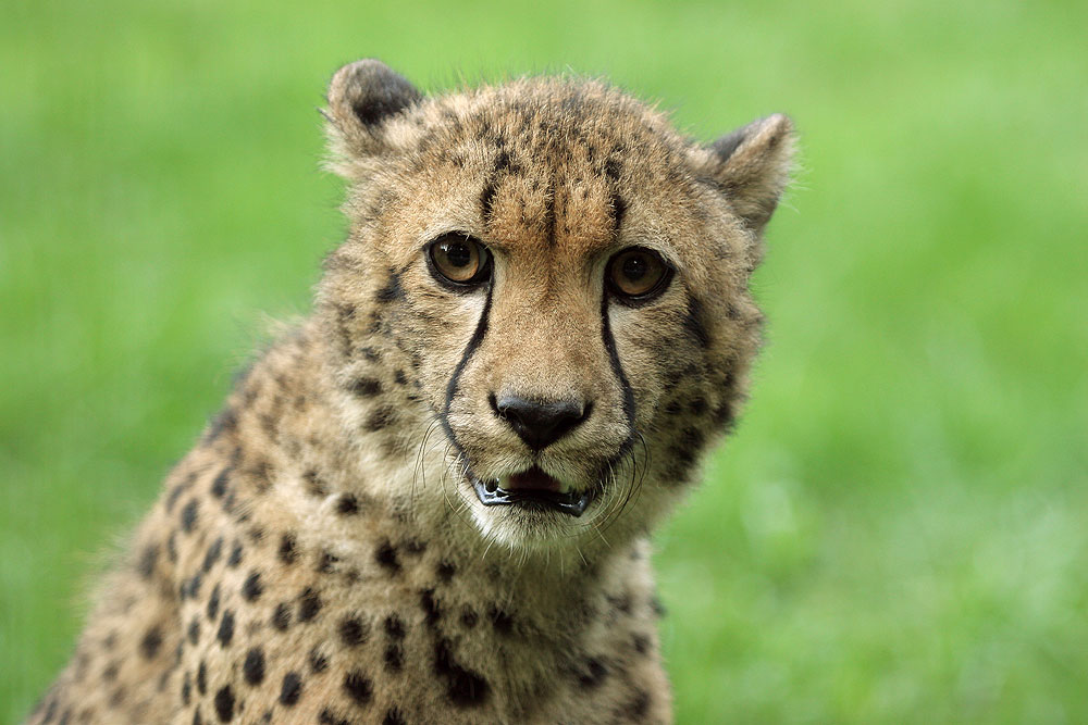 cheetah-closeup