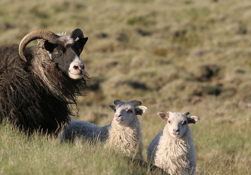 goat-family